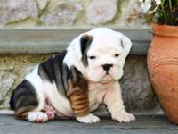 Playfull English Bulldog Puppies come ws with playing