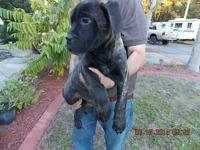 Stunning Brindle shade, 15 weeks aged. Friendly,