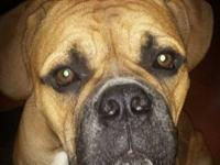Hi, I'm jewel a champion lined Johnson American bulldog