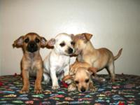 Hi everybody! We have 4 beautiful 9 wk old Chiweenie