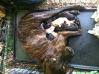 Our beautiful brindle plott hound Alice was bred with