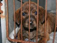Plott Hound - 374-12 - Small - Young - Female - Dog
