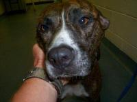 Plott Hound - Benny - Large - Adult - Male - Dog