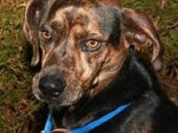 Plott Hound - Braveheart - Medium - Adult - Male - Dog