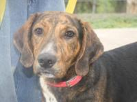 Plott Hound - Chevy - Medium - Baby - Male - Dog