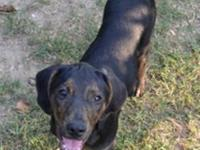 Plott Hound - Cyrus - Medium - Baby - Male - Dog You