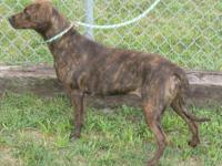 Plott Hound - Daphne - Medium - Adult - Female - Dog