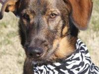 Plott Hound - Davinci - Large - Young - Male - Dog