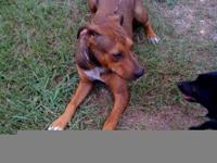 Plott Hound - Dolly - Large - Adult - Female - Dog