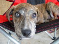 Plott Hound - Fujitsu - Small - Baby - Female - Dog