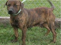 Plott Hound - Ginger - Medium - Adult - Female - Dog