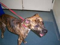 Plott Hound - Hank - Large - Adult - Male - Dog