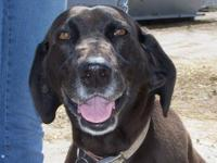 Plott Hound - Honey - Medium - Adult - Female - Dog