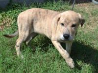 Plott Hound - Honey - Medium - Baby - Female - Dog This