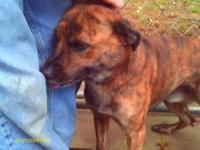 Plott Hound - Jack Plott Hound M - Medium - Young -