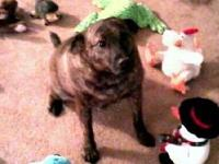 Plott Hound - Jax - Medium - Young - Male - Dog Hey -