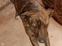 Plott Hound - Lucky - Large - Adult - Female - Dog