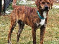Plott Hound - Lucky - Large - Adult - Male - Dog 6