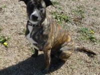 Plott Hound - Lucy - Medium - Adult - Female - Dog Lucy