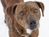 Plott Hound - Max - Large - Young - Male - Dog Max is a
