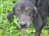 Plott Hound - Mindi - Medium - Young - Female - Dog