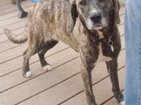 Plott Hound - Poppy - Medium - Adult - Female - Dog Hi!