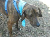 Plott Hound - Skeeter - Medium - Young - Male - Dog