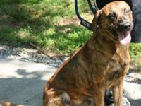 Plott Hound - Springer - Medium - Adult - Male - Dog