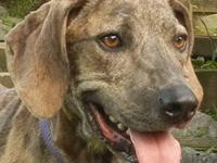 Plott Hound - Strider - Large - Adult - Male - Dog