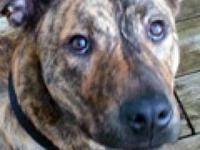 Plott Hound - Tigger - Large - Adult - Male - Dog