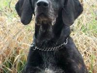 Plott Hound - Vinnie - Large - Adult - Male - Dog This