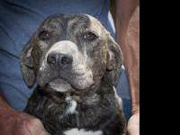 Plott Hound - Annie - Large - Young - Female - Dog
