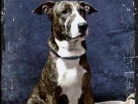 Plott Hound - Cricket - Medium - Young - Female - Dog