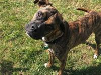 Meet Perfect Plug!  This 1-2 year old boxer mix boy is