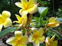 I have over 100 plumerias / frangipanis for sale! Some