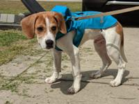 Pluto is a 4 month old beagle/hound mix. He is very