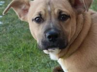 Poca is a female 4 month old Bulldog / Terrier mix that
