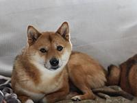 Pochi's story Pochi is a 5-year-old, male Shiba Inu who