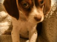 Three male chocolate pocket Beagles registered with