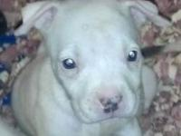 I have a fawn colored pocket bully female She is short