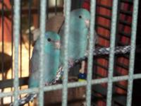Two comical Parrotlets for sale. These loving, bonded,