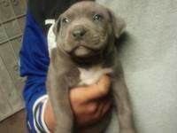 all original pocket pit bullies big heads, big paws and