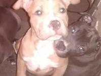 3 female pocket Pit bull puppies. They've had all their