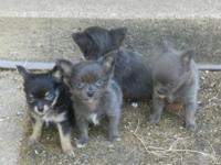 Lovable CKC reg Longcoat Chihuahua puppies! They are