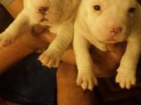 I have 3 male pocket bullies. Born Jan 28 2015. They