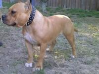Male, 11 months old. UKC registered. Razor edge and
