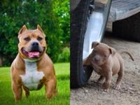 We have a beautiful American bully lady for sale ukc