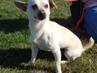 Poco....Male Chihuahua, 2 years old. Picked up by