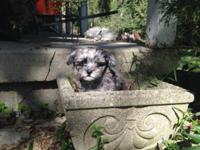 Beautiful Merle male poodle chihuahua puppy ready to go