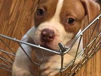Poe's story Mr. Poe is an American Bulldog baby. He